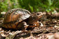 Gulf Coast Box Turtle. A Gulf Coast Box Turtle in its natural habitat Royalty Free Stock Photo