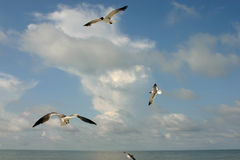 Gulf Coast Flight. Seagull in flight with clouds and Sky. Florida's Gulf Coast stock photo