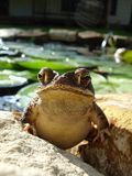 Gulf Coast Toad emerging from Pond Royalty Free Stock Photography