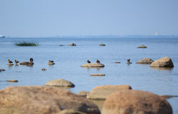 Gulf of Finland - Sea, sky, ducks, seagulls and stones royalty free stock images