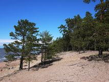 Gulf of Finland coast. Pine forest and beach on the North sea coast. stock image