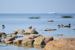 Gulf of Finland. Shore, stones, ducks, seagulls and calmness Royalty Free Stock Image