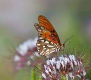 Gulf Fritillary (Agraulis vanillae) butterfly Stock Image