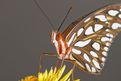 Gulf Fritillary (Agraulis vanillae) on a flowe Royalty Free Stock Photography