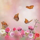 Gulf Fritillary butterflies in a rose garden. Gulf Fritillary butterflies feed in a rose garden royalty free stock images