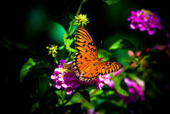 Gulf Fritillary Butterfly Royalty Free Stock Images