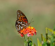 Gulf Fritillary butterfly Stock Photos