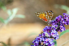 Gulf Fritillary Butterfly. A Gulf Fritillary Butterfly rests on a Buddleja Lochinch, or butterfly bush Royalty Free Stock Photos