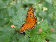 Gulf Fritillary Butterfly Royalty Free Stock Photo