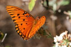 Gulf Fritillary Butterfly. On White Butterfly Bush Stock Image