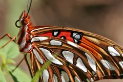 Gulf Fritillary Butterfly. Resting on a leaf Royalty Free Stock Image