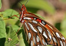 Gulf Fritillary Butterfly. Resting on a leaf Royalty Free Stock Photography