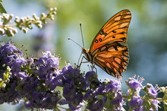 Gulf Fritillary butterfly Stock Photography