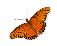 Gulf Fritillary butterfly (Agraulis vanillae) Royalty Free Stock Images