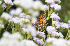 Gulf Fritillary butterfly. Gulf Fritillary (Agraulis vanillae) butterfly alights on a wildflower in the scrub lands of Central Florida Stock Photo