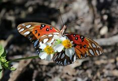 Gulf Fritillary Royalty Free Stock Photography