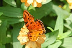 Gulf Fritillary butterfly. Agraulis vanillae, passion butterfly or Gulf Fritillary butterfly Stock Images