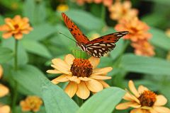 Gulf Fritillary butterfly. Agraulis vanillae, passion butterfly or Gulf Fritillary butterfly Royalty Free Stock Images