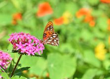 Gulf Fritillary Butterfly also known as Agraulis vanillae royalty free stock image