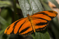 Gulf Fritillary Butterfly. A bright orange Gulf Fritillary Butter with wings outstretched Stock Images