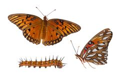 Free Gulf Fritillary Butterfly Compilation Royalty Free Stock Images - 173513009