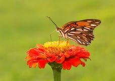 Gulf Fritillary butterfly on a deep orange Zinnia flower Royalty Free Stock Photos
