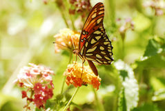 A Gulf Fritillary Butterfly on Desert Blossoms Royalty Free Stock Photo