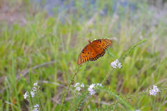 Gulf fritillary butterfly. A Gulf fritillary butterfly drinks nectar from the flowers Stock Photo