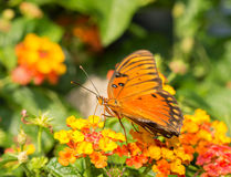Gulf Fritillary butterfly Stock Images