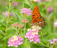 Gulf Fritillary butterfly feeding on coloful Lantana. Flowers in summer garden royalty free stock photo