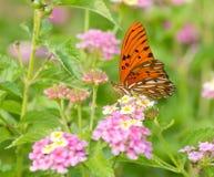 Gulf Fritillary butterfly feeding on coloful Lantana Royalty Free Stock Photo