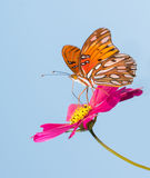 Gulf Fritillary butterfly feeding on a pink Cosmos flower Royalty Free Stock Photo
