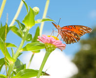 Gulf Fritillary butterfly feeding on a pink Zinnia Royalty Free Stock Image