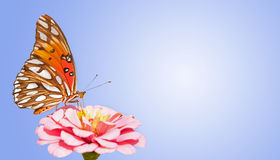 Gulf Fritillary butterfly feeding on pink Zinnia Royalty Free Stock Photography
