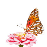 Gulf Fritillary butterfly feeding on a pink Zinnia Stock Image