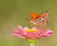 Gulf Fritillary butterfly feeding on pink Zinnia Stock Photos