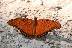 Gulf Fritillary Butterfly on Ground. Close-up of a beautiful orange and black Gulf fritillary butterfly as it sits on white sandy ground, with wings spread open royalty free stock image