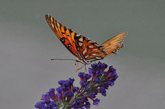 Gulf Fritillary Butterfly. Image of Gulf Fritillary (Agraulis vanilla) sipping nectar from Butterfly Bush Royalty Free Stock Photos