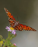 Gulf Fritillary butterfly. Landing on pretty purple flowers on a river bank in Autumn Royalty Free Stock Images