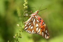 Close up butterfly Gulf Fritillary. Gulf fritillary butterfly leaning back off flowering stem with underside details Royalty Free Stock Photos