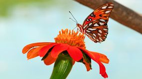 Gulf Fritillary Butterfly On Marigold Stock Images