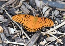 Gulf Fritillary Butterfly Royalty Free Stock Photos