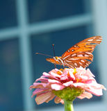 Gulf Fritillary butterfly on a pink Zinnia Stock Images