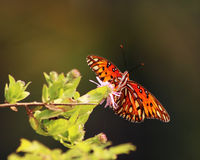 Gulf Fritillary butterfly on plants. Orange and black butterfly on a green plant along a river Stock Image