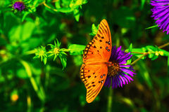 Gulf Fritillary Butterfly on a Purple Flower. A beautiful photo of a Gulf Fritillary Butterfly feeding on nectar from a flower Stock Images
