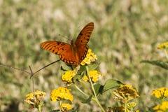 A Gulf Fritillary butterfly Stock Image