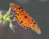 Gulf Fritillary butterfly. 's beautiful bright orange colors captured against a grey background as it lands on pretty purple flowers Stock Image