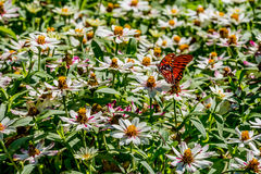 Gulf Fritillary Butterfly in a Sea of White Flowers Royalty Free Stock Photo