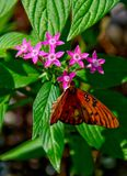 Gulf Fritillary Butterfly Sipping Nectar royalty free stock photography