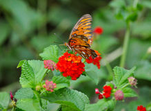 Gulf Fritillary Butterfly Stock Photography
